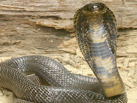 Cobra_real_2