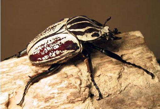 Top 10 insectos raros 1
